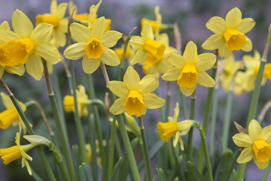 Когда и как выкапывать нарциссы после цветения?