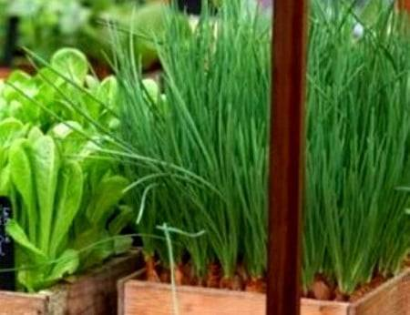 Выращивание семейного лука, крупный семейный лук, резка семейного лука