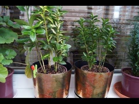 Бересклет комнатный уход в домашних условиях. бересклет комнатный — уход и выращивание