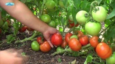 Правильная подкормка томатов: когда и какие удобрения использовать