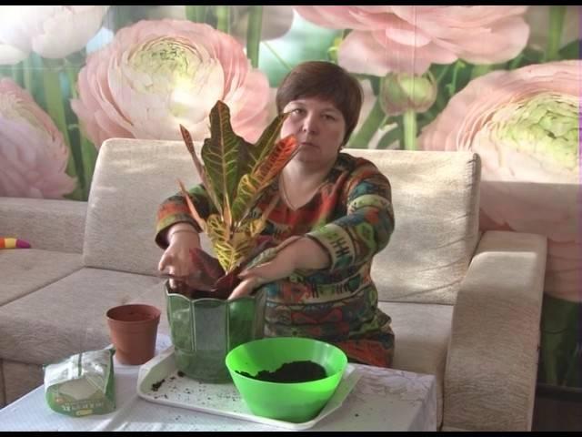 Кротон: правила пересадки привередливого красавца в домашних условиях