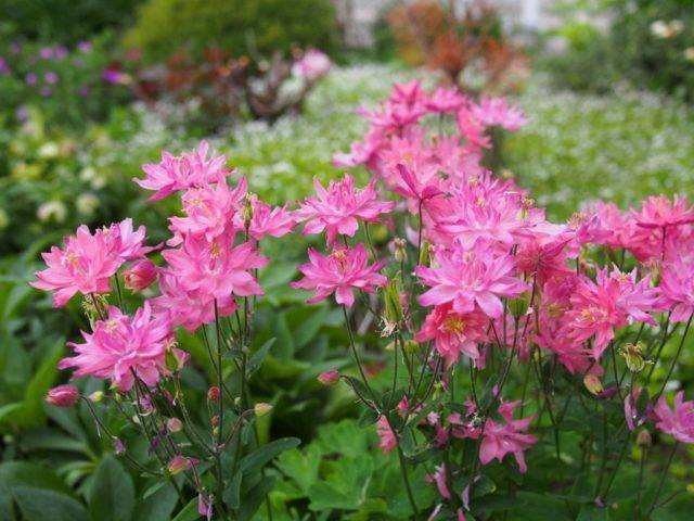 Самые неприхотливые и долгоцветущие цветы-многолетники для сада