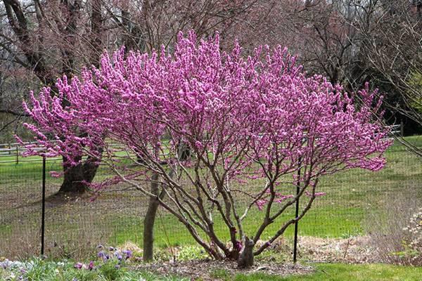 Багрянник (церцис), уход, цветение, размножение и эффектные сорта