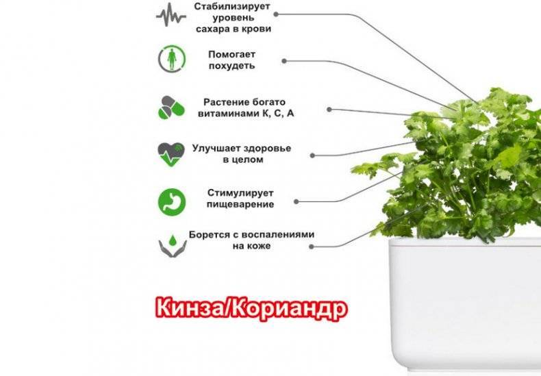 Всё о начале выращивания кинзы: через сколько после посадки всходят семена, как выглядят и что ускорит процесс?