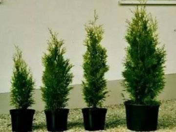 Туя колумна: описание, уход и способы выращивания