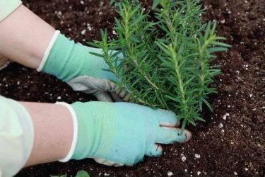 Выращивание розмарина в открытом грунте: секреты садовода