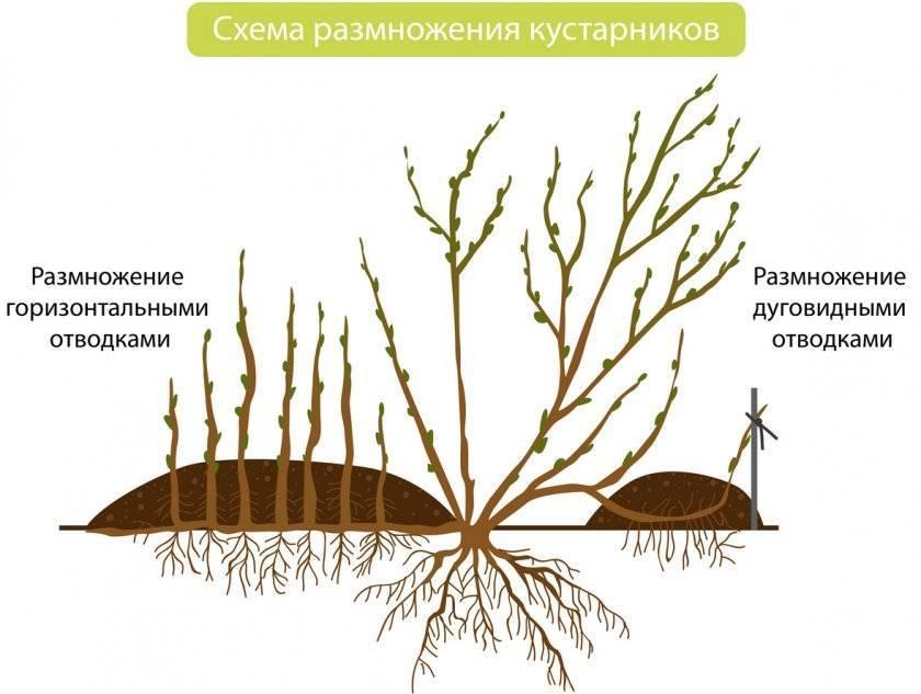 Жимолость: посадка и уход, размножение и свойства