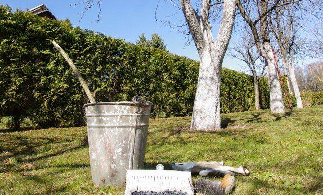 Побелка деревьев. для чего, когда и чем белить деревья