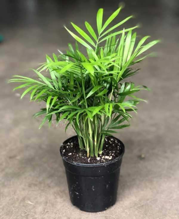 Хамедорея - уход в домашних условиях, фото, выращивание из семян