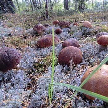 Выращивание грибов на пнях на приусадебном участке