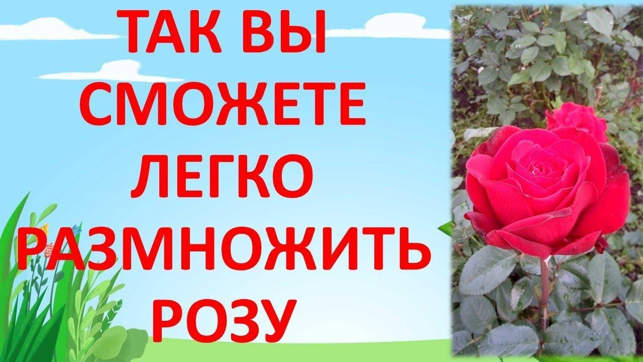 Как размножать розы черенками в домашних условиях, просто и бесплатно