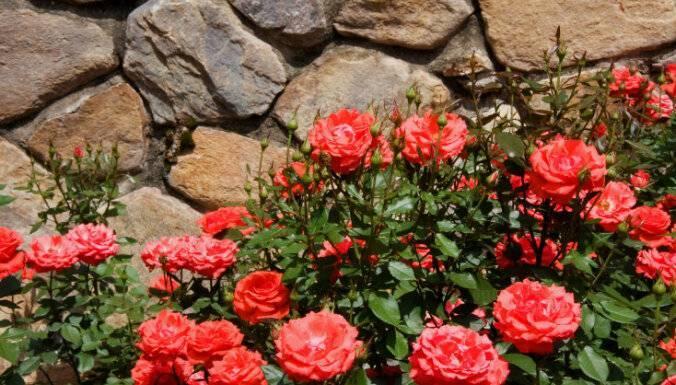 Розы - уход и выращивание в саду