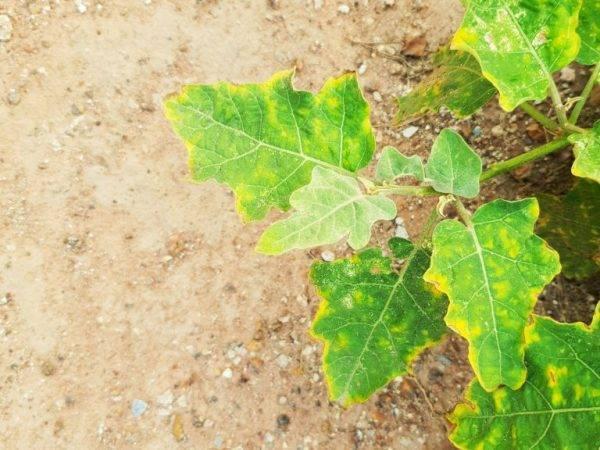 Белые пятна на листьях рассады баклажанов, почему и что с этим делать?