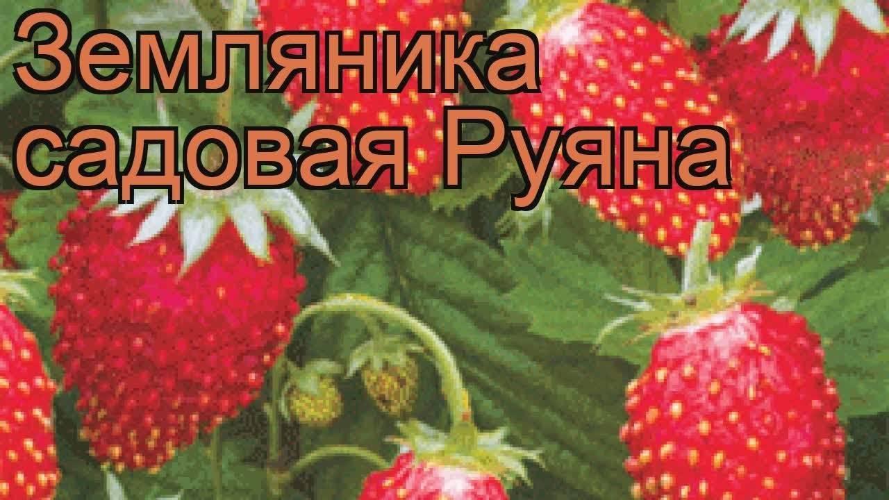 Земляника садовая посадка и уход в открытом грунте рецепты