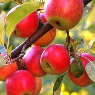 Можно ли вырастить яблоню из ветки и когда начинать заготовку черенков