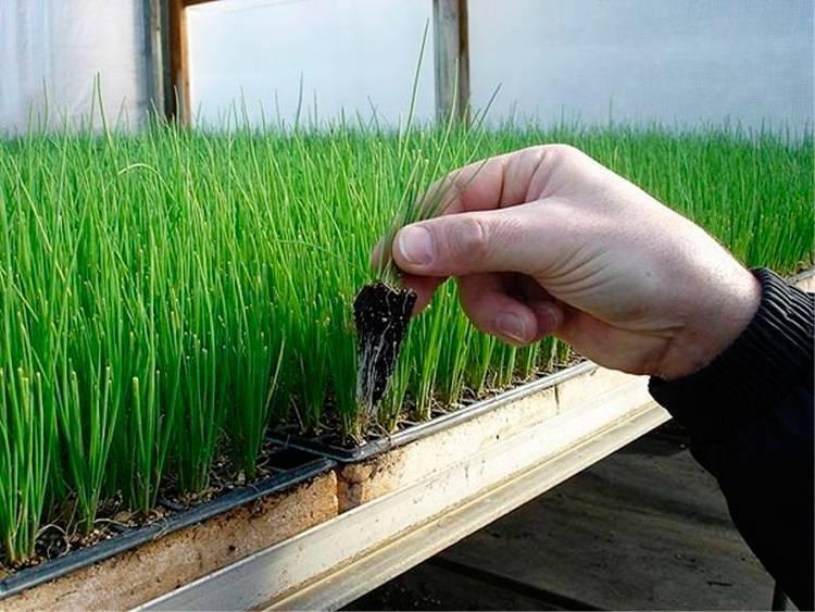 Лук на зелень из семян: выращивание