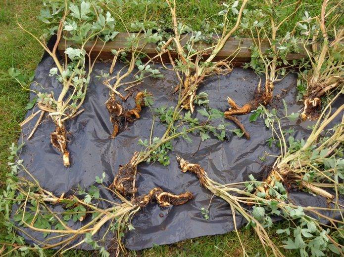Как размножить калину черенками