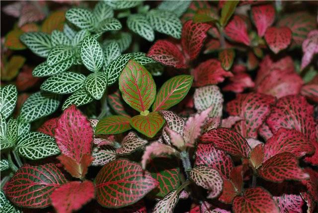 Фиттония: правила ухода за декоративно-лиственной красавицей
