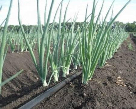 Китайский способ выращивания лука на гребнях: описание технологии, подготовка семенного материала