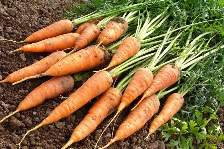 Технология, особенности посадки и выращивания моркови в открытом грунте: пошаговая агротехника