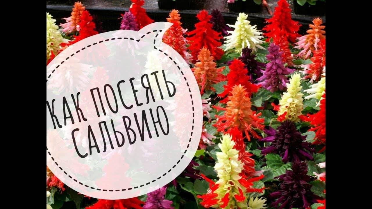 Сальвия, выращиваем домашнее растение