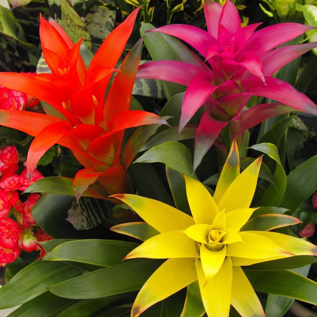 Как правильно ухаживать за растением вриезия спленриет в домашних условиях?
