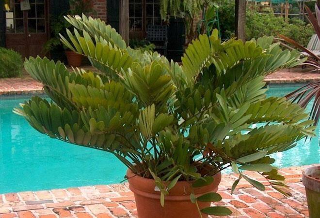 Замия, пальмовое деревце, основы ухода в домашних условиях