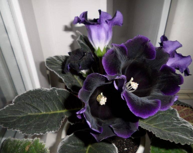 Уход за глоксиниями во время и после цветения. секреты формирования компактного кустика глоксинии почему глоксиния вытягивается и не цветет