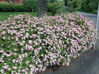 Каким кустарникам необходима осенняя обрезка, а каким нет?