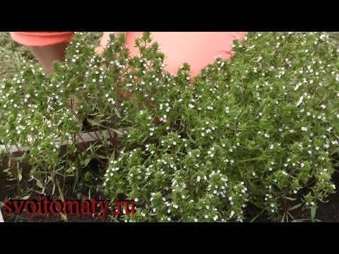 Тимьян и чабрец – одно и тоже ли растение или нет
