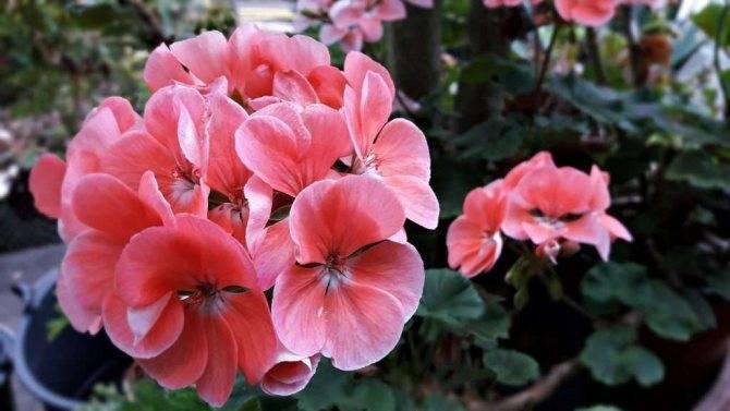 Если у вашей герани белеют листья — разбираемся, почему это происходит и как помочь растению