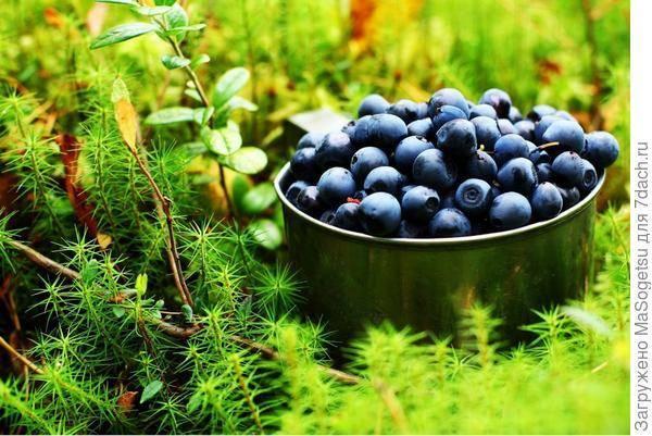 Как вырастить чернику на своём участке. сорта, посадка, уход, способы размножения садовой культуры