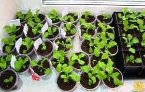 Целозия: когда и как сажать семена на рассаду в домашних условиях
