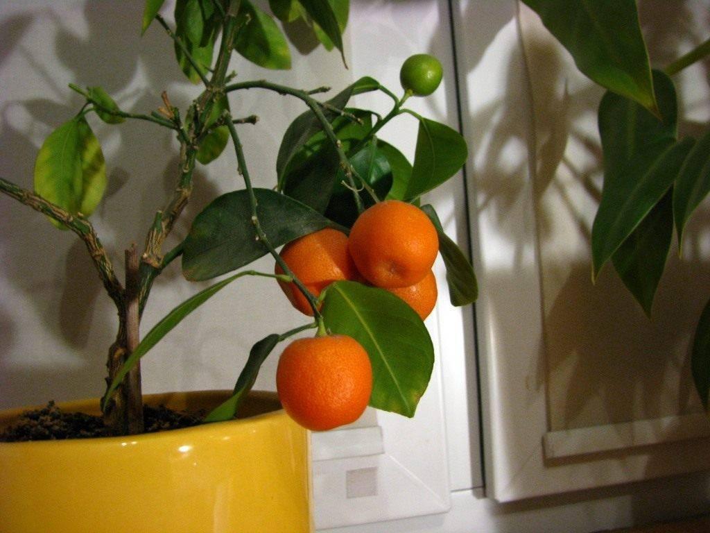 Обзор сортов диких и домашних мандаринов