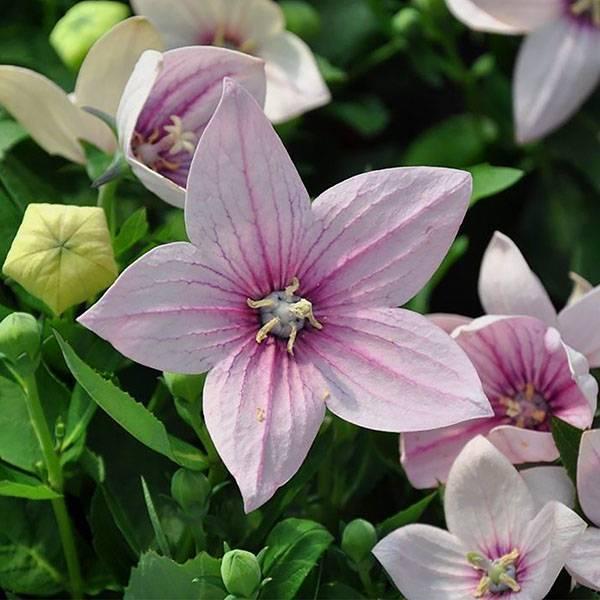 Как выращивать платикодон из семян в домашних условиях
