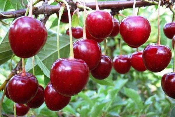 Вишня тургеневка: заслуженный урожайный сорт