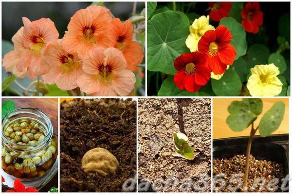 Особенности и сроки посадки настурции из семян на рассаду в 2020 году