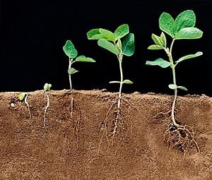 Регулятор роста растений «Вымпел» — панацея от болезней и стрессов