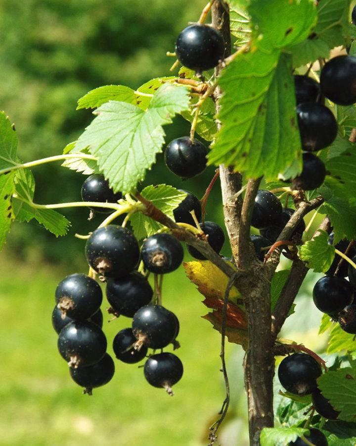 Подкормка смородины осенью – гарантия будущего урожая