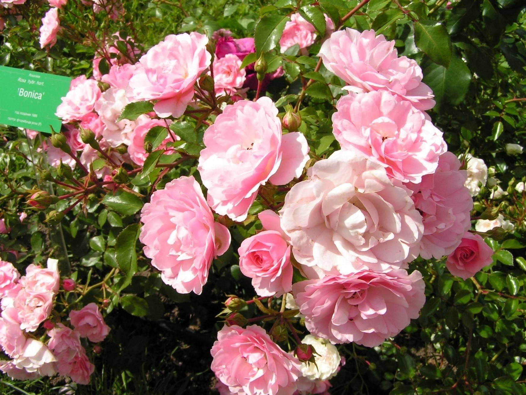 Эти загадочные сиреневые розы