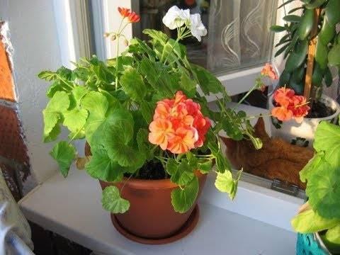 Почему у комнатной герани желтеют листья и как спасти растение
