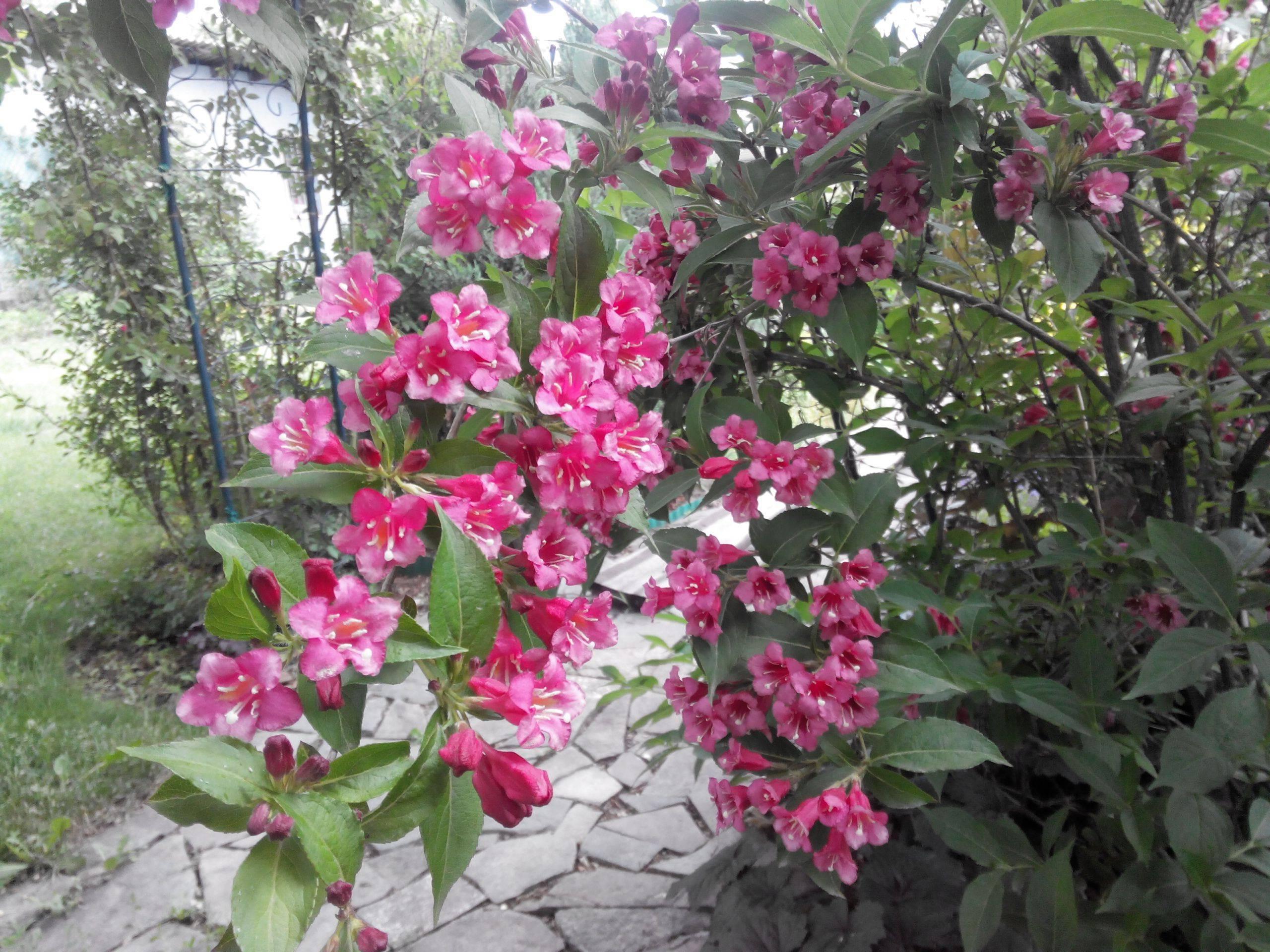 Вейгела, фото и описание кустарника, сорта, посадка, уход, размножение