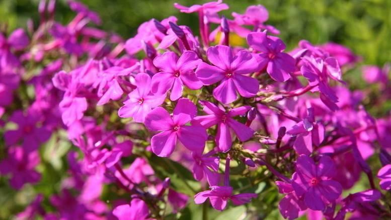 Флоксы описание,размножение,уход,посадка,выращивание,фото,видео.