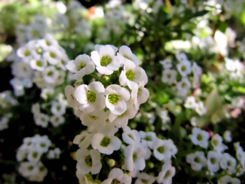 Цветок алиссум (лобулярия): посадка и уход в открытом грунте, выращивание из семян, фото, лучшие сорта, когда и как сажать семенами, пошаговые инструкции