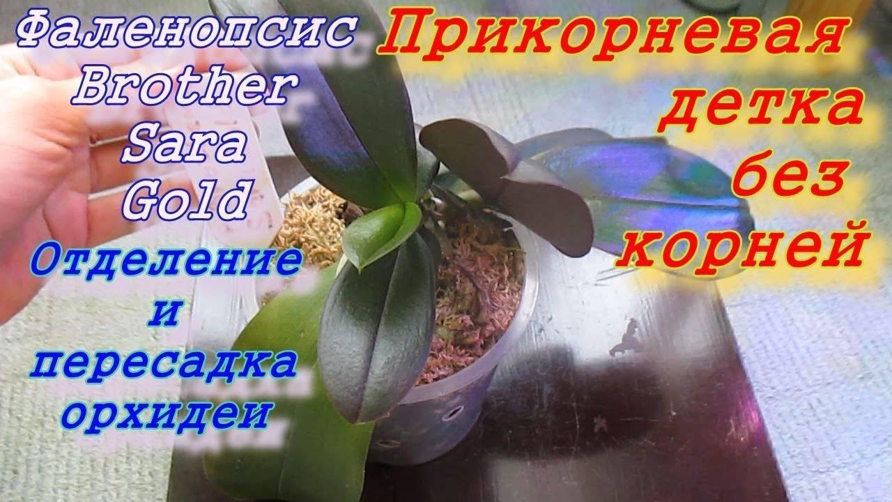 Возможно ли размножение орхидей воздушными корнями?