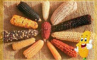 Сорт кукурузы для попкорна: как называются, выращивание и хранение с фото