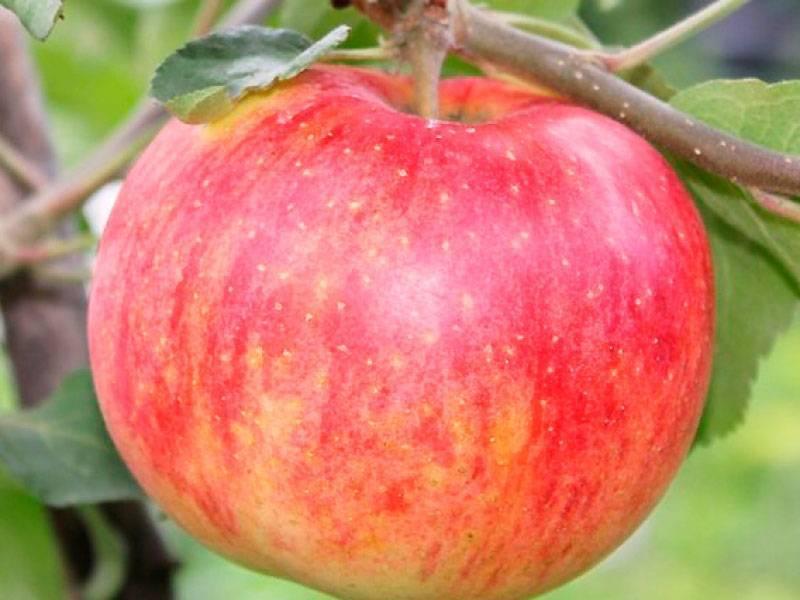 Сорт яблони штрейфлинг – неприхотливый долгожитель