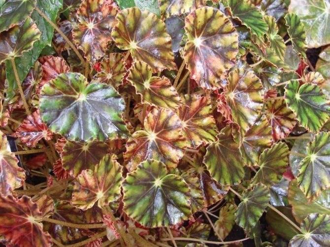 Бегония воротничковая — декоративно-цветущее растение из мексики