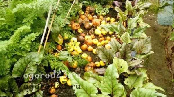 Гнилые яблоки как удобрение для огорода