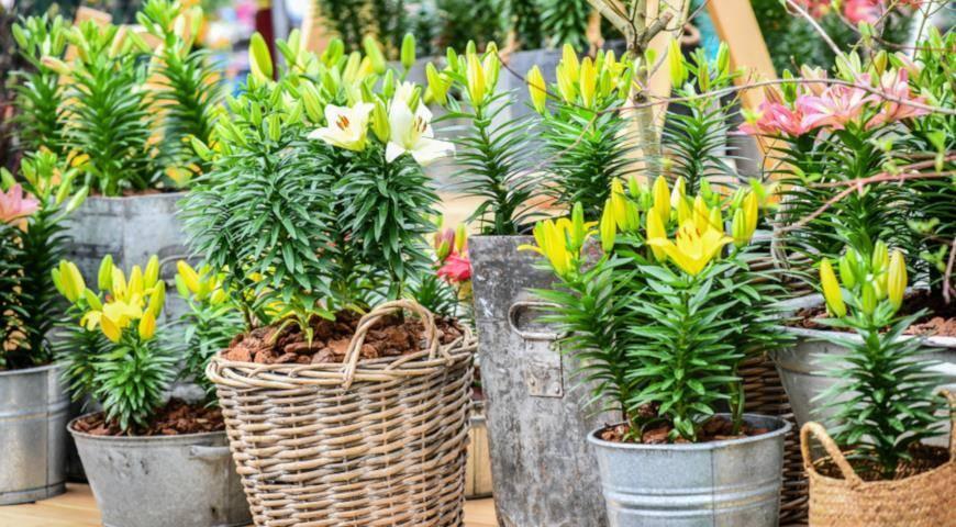 Чем подкормить лилии весной